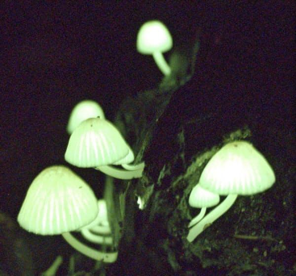 幻想的な光を放つシイノトモシビタケ(10日、鹿児島県龍郷町)