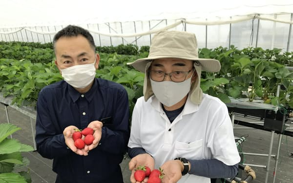 実験では高品質なイチゴを育成できた(右がハウス責任者、左は地域商社とっとりの販促担当者)