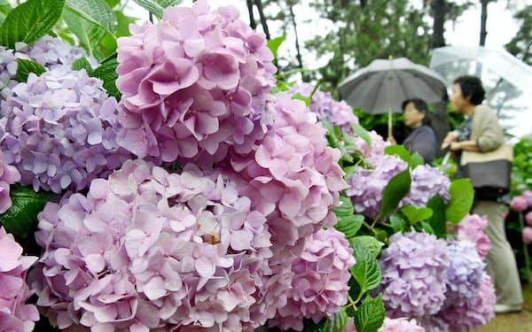 アジサイは花びらのようにみえる「がく」の集まり。一つ一つ形の異なるがくの多様性が花全体の美しさをもたらす