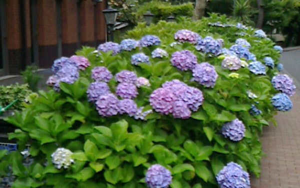 梅雨に花開いたアジサイ