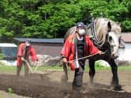 「きみがら」原料のトウモロコシ畑は馬を使って耕した(青森県三沢市の星野リゾート青森屋)