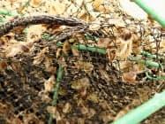 三重県内で死んだアコヤガイの稚貝(6月、三重県水産研究所提供)=共同