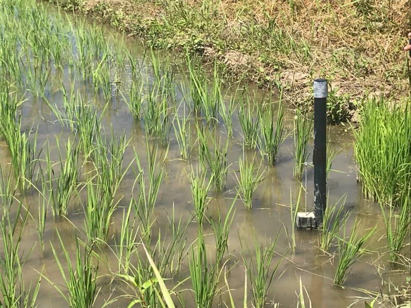 水田に設置したセンサーが水位を24時間測定する