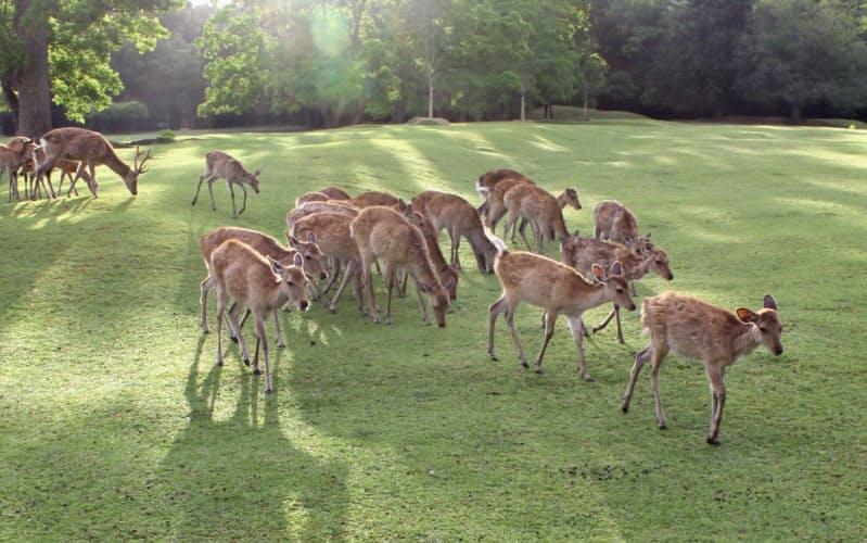 春日山の山麓に広がる飛火野で草を食む鹿(奈良市)