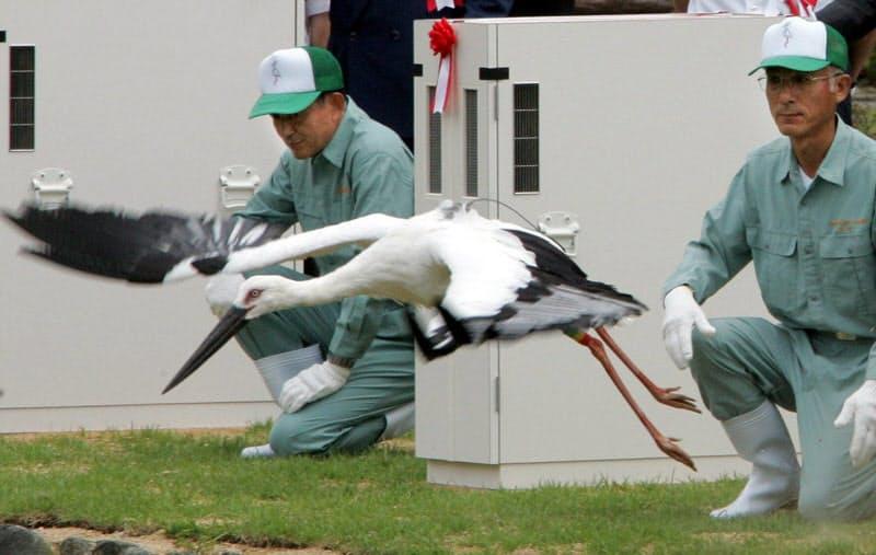 放たれたコウノトリ(2005年、豊岡市)