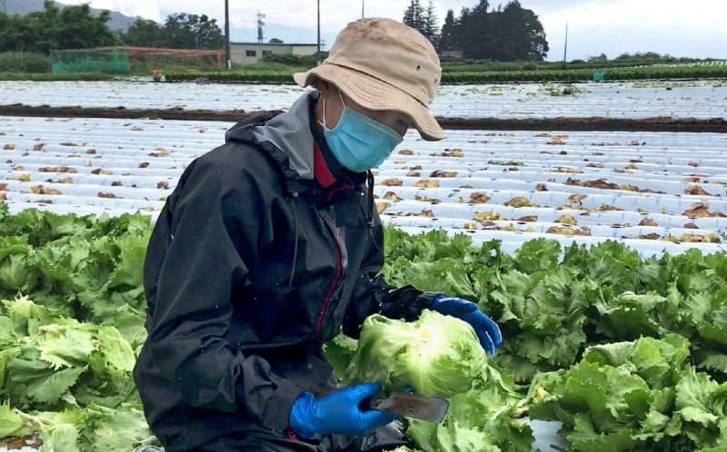 入国できなかった中国人技能実習生に代わり、レタス畑で働くベトナム人(長野県御代田町)