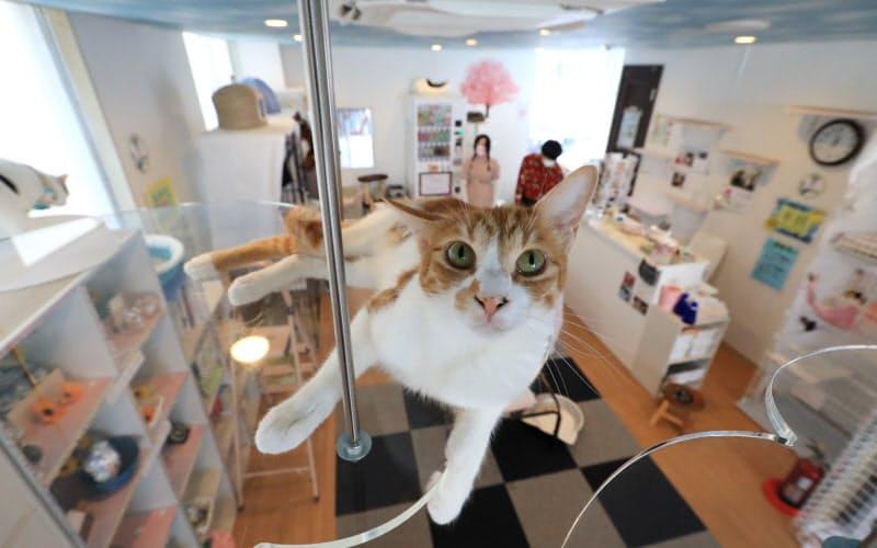新型コロナウイルス感染予防のため人数や利用時間の制限を行っている保護猫カフェ「さくら」(埼玉県越谷市)