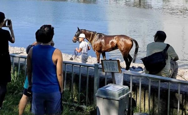 暑さは馬の大敵。写真は大井競馬場から脱走し、運河を泳いでいた競走馬(近隣住民提供)=共同