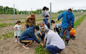 将来は7ヘクタールまでブドウ畑を広げる(調和技研のブドウ畑、北海道余市町)