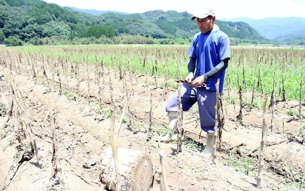 豪雨で収穫できなくなった葉タバコを見つめる岩坂さん。後方を流れる川辺川の堤防が決壊した(7月30日、熊本県相良村)
