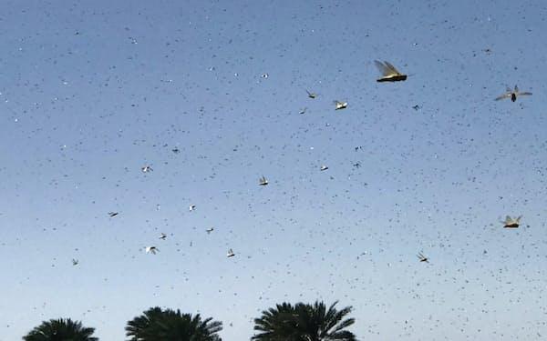 おびただしい数のサバクトビバッタが空を飛ぶ(オマーンの首都マスカット)