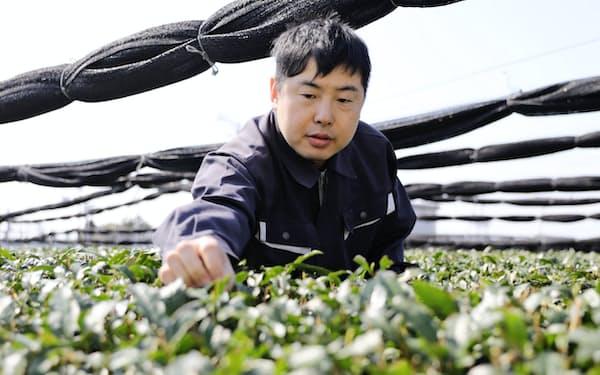 石川さんが有機栽培する茶葉は高品質で海外でも評価されている