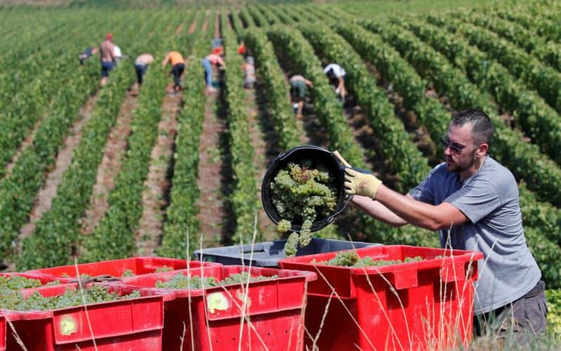仏シャンパーニュ地方では今年のぶどうの収穫が始まった=ロイター