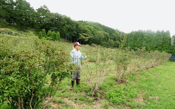 手前が被害を免れたハスカップの木(手前)と新たに植えた幼木