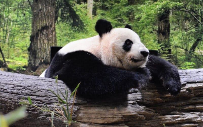 新パンダ舎で過ごすシンシン(6日、東京都台東区)=東京動物園協会提供
