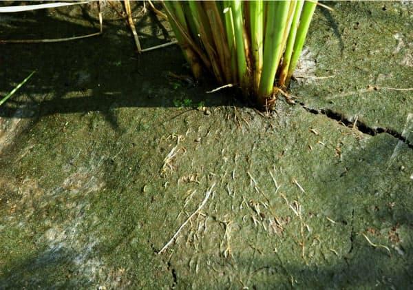 塩害に強いイネは地表面に根を伸ばす。根の一部を地上に露出させる(農研機構提供)