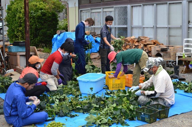 ホップ栽培の体験プログラムでは参加者が収穫を手伝った(宮城県石巻市)