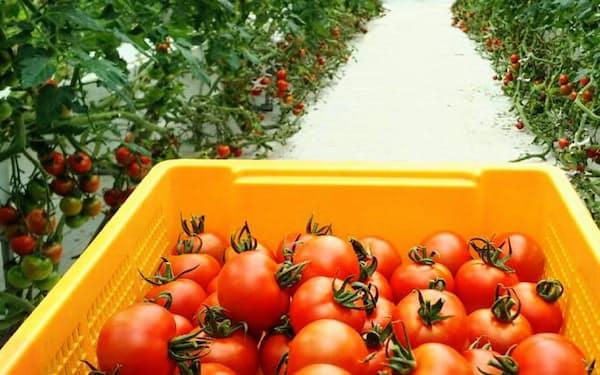 「みどりクラウド」を導入した新堀智史さんのトマト農場(川崎市)