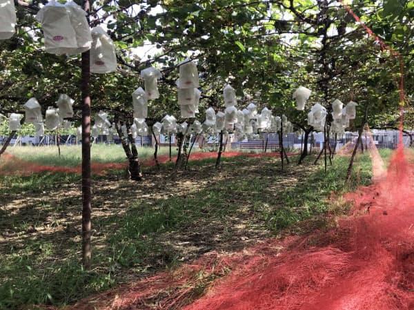 県内の果実農園では盗難防止のため編み目が小さいネットや防犯カメラなどを設置するところもある