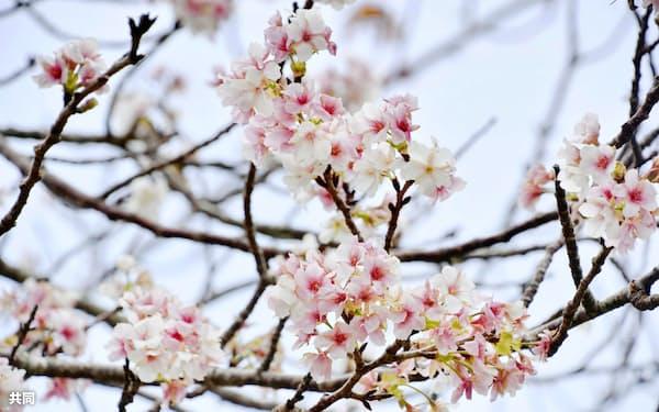 鹿児島・種子島で季節外れの花を咲かせた桜(7日)=共同