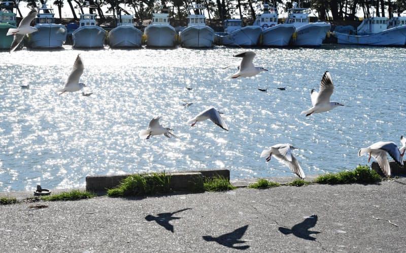 十吉が魅力にとりつかれた駿河湾。漁港では海鳥が戯れていた(静岡県吉田町)=寺沢将幸撮影