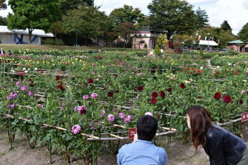 様々な色や形の花が咲き乱れる川西ダリヤ園(山形県川西町)