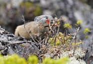 北海道鹿追町の然別湖近くの岩場で餌を食べるエゾナキウサギ(15日)=共同