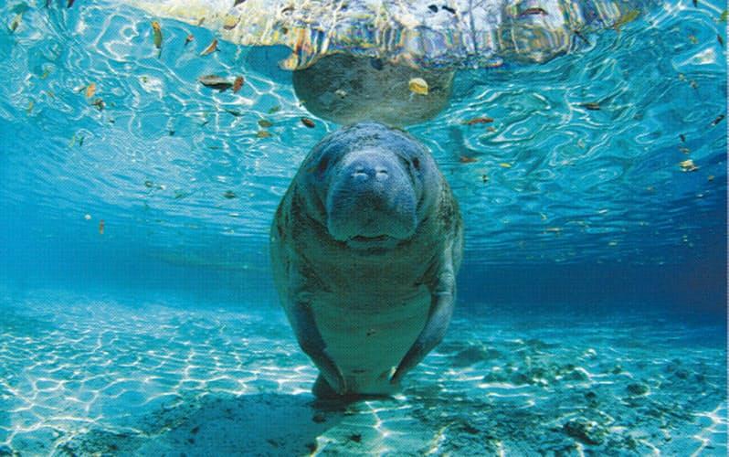 透き通った水の中で浮かぶマナティ。かつては人魚に間違われたという(米フロリダ州)