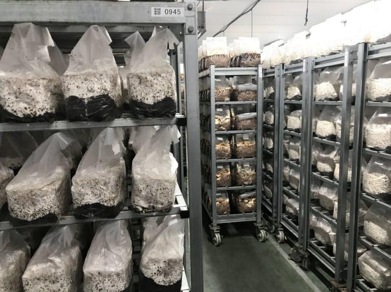 培地に菌糸体が広がり、白くなった菌床が並ぶ培養室
