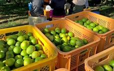 ホテル社員が農場で収穫、コロナで芽生えたマッチング
