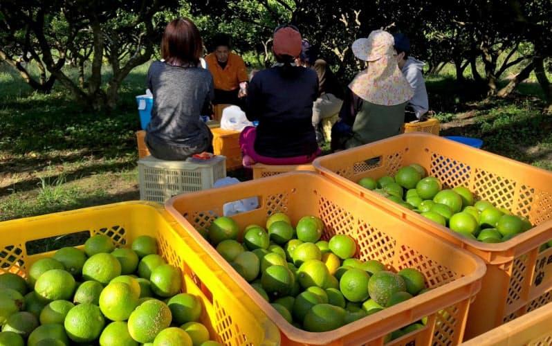 農作業受託の菜果野アグリに登録し、カボスの収穫に来た人たち(大分県宇佐市)