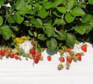 農業・食品産業技術総合研究機構とアヲハタが開発した加工用イチゴの新品種「夢つづき2号」