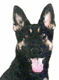 警察犬「クレバ号」(兵庫県警提供)=共同