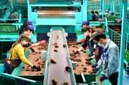 新設された選果場でサトイモの出荷作業をする生産者ら(埼玉県狭山市)