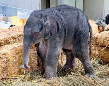 東京・上野動物園で開園以来初めて生まれたアジアゾウの雄の赤ちゃん(31日、東京動物園協会提供)=共同