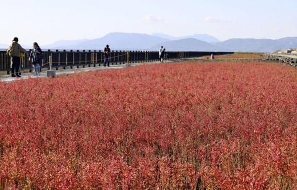 真っ赤に色づいたシチメンソウ(10月、佐賀市の東よか干潟)=共同