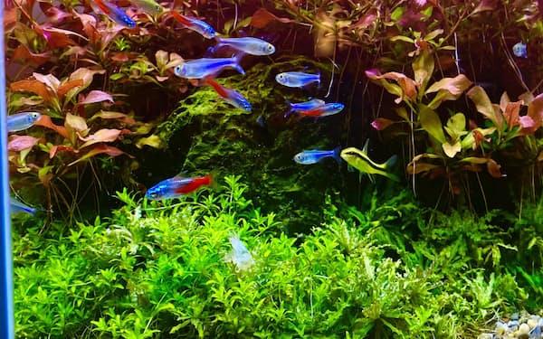 色鮮やかな熱帯魚の人気が高まっている(東京都新宿区のアクアフォレスト新宿店)
