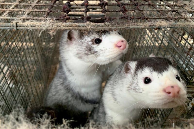 毛皮のために農場で飼育されるミンク(5日、デンマーク)=ロイター
