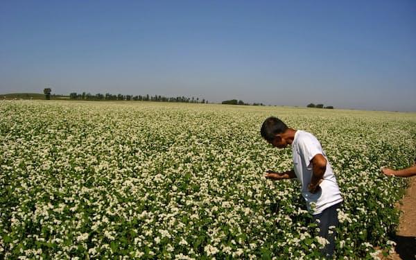 ソバから他の穀物に転換する動きが広がった(内モンゴル自治区のソバ畑)