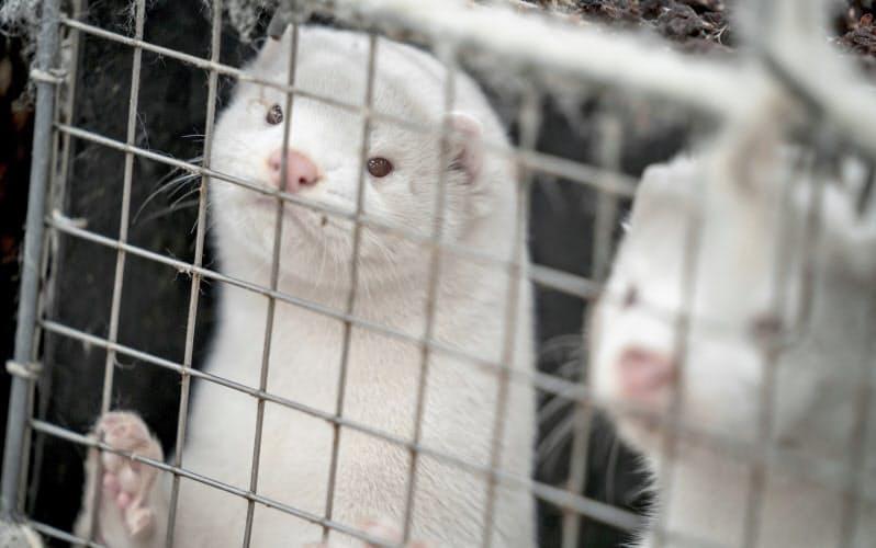 ミンクの毛皮の産地であるデンマークでは、ミンクの殺処分に必要な法的根拠を巡り、農相の辞任にまで及んだ=AP