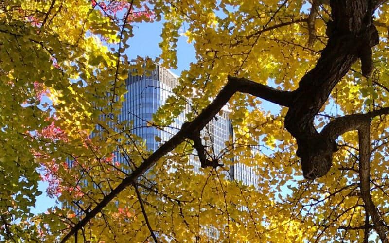 見ごろを迎えたイチョウの葉も風で散り始めた(千代田区の日比谷公園)