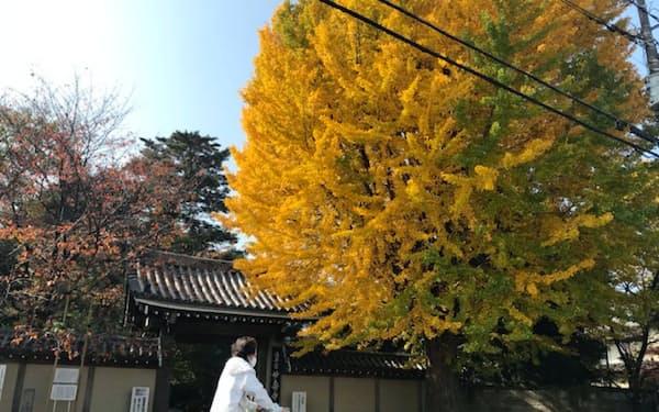 妙寿寺の門前には、巨大なイチョウの木がそびえ立つ