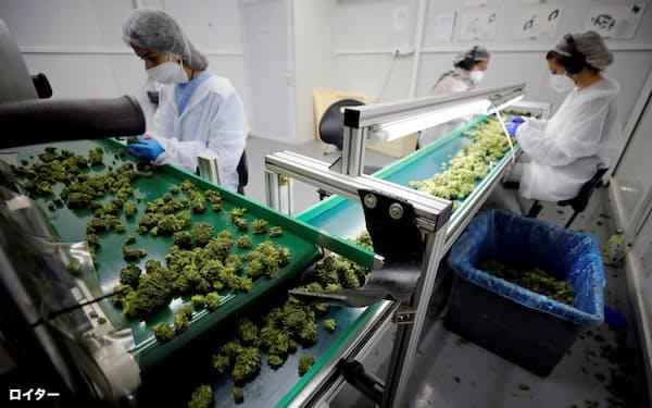 医療用大麻を生産する会社で大麻の花を選別する従業員(イスラエル)=ロイター