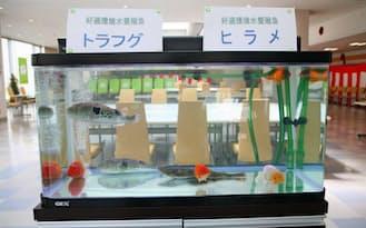 トラフグ、ヒラメとともに金魚が泳ぐ