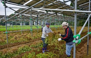 太陽光パネルの下で栽培した落花生を収穫(千葉県山武市)