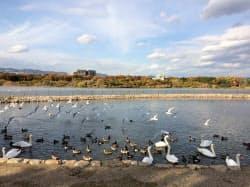 公園には多数の野鳥が群れている