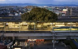 電車が行き交う京阪萱島駅のホーム。クスノキの枝葉が屋根を覆う