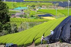 宇治茶の茶畑(京都府和束町)
