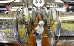 ブロッコリーの新芽を栽培する村上農園大井川生産センター(静岡県焼津市)
