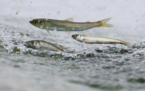 水面から跳びはねるアユ(5月25日、川崎市多摩区の二ケ領上河原堰)
